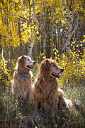 Diane Mintle - Golden Goldens