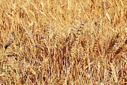 Field Of Crops Prints - Golden Grains Print by Michelle Calkins