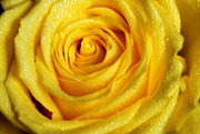 Golden Grandeur Of Nature. Yellow Rose I Print by Jenny Rainbow