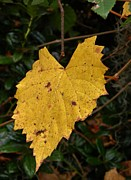 Grape Leaf Framed Prints - Golden Grape Leaf Framed Print by Warren Thompson