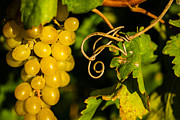 Bunch Of Grapes Framed Prints - Golden Grapes on Vines Framed Print by Meir  Jacob