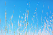 Minimal Landscape Digital Art - Golden Grasses against a Clear Blue Sky by Natalie Kinnear