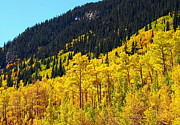 Lush Colors Posters - Golden Groves of Aspen Trees Poster by Amy McDaniel