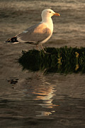 Seagull Metal Prints - Golden Gull Metal Print by Sharon Lisa Clarke