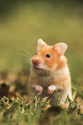 Hamster Prints - Golden Hamster Print by Alon Meir
