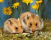 Hans Reinhard - Golden Hamster