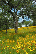 Wildflowers Framed Prints - Golden Hillside Framed Print by Robert Anschutz