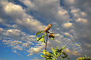Lynn Bauer Prints - Golden Hour Hummingbird Print by Lynn Bauer