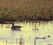 Goose In Water Posters - Golden Hour On Corn Field With Canada Goose  Poster by Rosemarie E Seppala