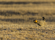 Strutting Prairie Chicken Posters - Golden Light On The Prairie Poster by Thomas Young