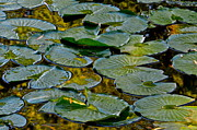Lilly Pads Framed Prints - Golden Lilly Pads Framed Print by Robert Harmon