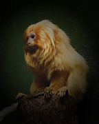 Colorado Artist Prints - Golden Lion Tamarin  Print by Ernie Echols