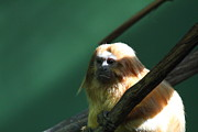 Lion Photos - Golden Lion Tamarin - National Zoo - 011314 by DC Photographer