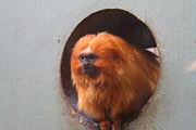Park Art - Golden Lion Tamarin - National Zoo - 01133 by DC Photographer