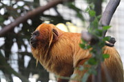 National Prints - Golden Lion Tamarin - National Zoo - 01134 Print by DC Photographer