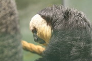Lion Prints - Golden Lion Tamarin - National Zoo - 01138 Print by DC Photographer