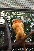 Lion Framed Prints - Golden Lion Tamarin - National Zoo - 01139 Framed Print by DC Photographer