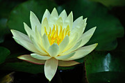Awesome Photo Originals - Golden Lotus by Bhanu Mohan