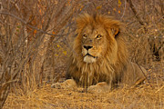 Dignified Prints - Golden Mane Print by Ashley Vincent