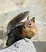 Mt Rainier National Park Prints - Golden Mantle Ground Squirrel Print by Angie Vogel