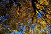 Linda Knorr Shafer - Golden Maple 8