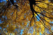 Linda Knorr Shafer - Golden Maple 9