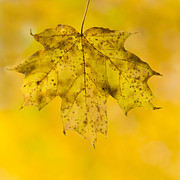 Autumn Colors Art - Golden Maple Leaf by Sebastian Musial