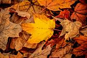 LeeAnn McLaneGoetz McLaneGoetzStudioLLCcom - Golden Maple
