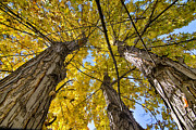 James BO  Insogna - Golden Maple Standing Tall