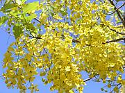 Mary Deal Photos - Golden Medallion Shower Tree by Mary Deal