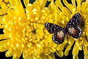 Yellows Prints - Golden Mum And Butterfly Print by Garry Gay