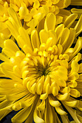 Yellows Prints - Golden Mum Print by Garry Gay