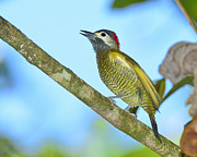 Neotropical Posters - Golden Olive Woodpecker Poster by Tony Beck