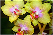 Golden Orchids Print by Dora Sofia Caputo