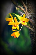 Lori Seaman - Golden Orchids