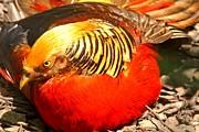 Adam Jewell - Golden Pheasant At Rest