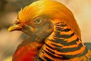 Adam Jewell - Golden Pheasant Brilliant Colors