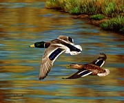 Ducks Painting Metal Prints - Golden Pond Metal Print by Crista Forest