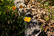 Cheryl Young Metal Prints - Golden Poppy Metal Print by Cheryl Young