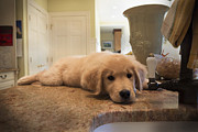 Puppy Photo Originals - Golden Puppy by Justin Fagella