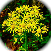 Golden Ragwort In Donivan Slough On Mile 283 Of Natchez Trace Parkway-ms Print by Ruth Hager