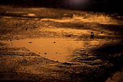 Puddle Prints - Golden Raindrops at Dusk Print by Cindy Singleton