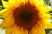 Farmstand Photo Metal Prints - Golden Ratio Sunflower Metal Print by Kerri Mortenson