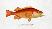 Golden Redfish Print by Aged Pixel