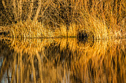 Sue Smith Prints - Golden Reflections Print by Sue Smith