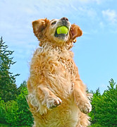 Brown And Green Posters - Golden Retriever Catch the Ball  Poster by Jennie Marie Schell