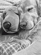 Funny Dogs Posters - Golden Retriever Dog and Friend Poster by Jennie Marie Schell