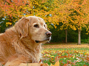 Hunting Dogs Posters - Golden Retriever Dog Autumn Leaves Poster by Jennie Marie Schell