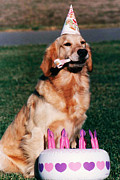 Border Photo Originals - Golden Retriever Dog Birthday by Kathy Sidjakov