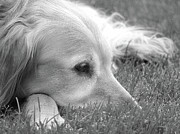 Sleeping Dogs Posters - Golden Retriever Dog in the Cool Grass Monochrome Poster by Jennie Marie Schell